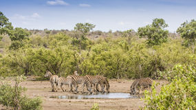 Group of zebras drinking in savannah. Group of zebras drinking at a pond in savannah in Kruger Park, South Africa stock images