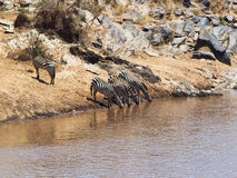 Group of zebras drinking water. Against rocks Stock Images
