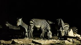 Group of Zebras drinking water royalty free stock images