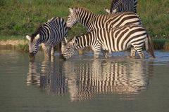 Group of zebras drinking at water hole, Ngorongoro Conservation Area, Tanzania. Group of zebras drinking at water hole in the Ngorongoro caldera, Ngorongoro stock photos