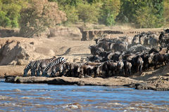 Group of zebras drinking water at the river. Group of zebras and wildebeest drinking water before crossing the river Mara, Masai Mara Game Reserve, Kenya Royalty Free Stock Photo