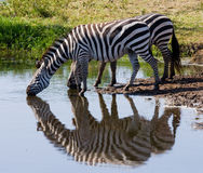Group of zebras drinking water from the river. Kenya. Tanzania. National Park. Serengeti. Maasai Mara. Stock Photo