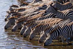 Group of zebras drinking water from the river. Kenya. Tanzania. National Park. Serengeti. Maasai Mara. Royalty Free Stock Images