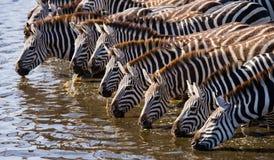 Group of zebras drinking water from the river. Kenya. Tanzania. National Park. Serengeti. Maasai Mara. Royalty Free Stock Photography