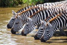 Group of zebras drinking water from the river. Kenya. Tanzania. National Park. Serengeti. Maasai Mara. Royalty Free Stock Photo