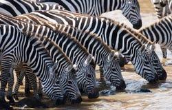 Group of zebras drinking water from the river. Kenya. Tanzania. National Park. Serengeti. Maasai Mara. Stock Photography