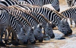 Group of zebras drinking water from the river. Kenya. Tanzania. National Park. Serengeti. Maasai Mara. Stock Photos