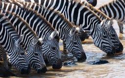 Group of zebras drinking water from the river. Kenya. Tanzania. National Park. Serengeti. Maasai Mara. Stock Image
