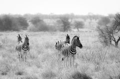 Group of Zebras in the Etosha National Park in Namibia Royalty Free Stock Photo