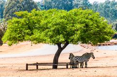 Zebras graze under the tree. African wild horse with black-and-white stripes and an erect mane. Group of Zebras graze under the tree. African wild horse with royalty free stock photography