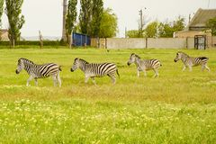 Group of zebras on a green field.  Stock Images