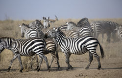 Group of zebras Stock Images