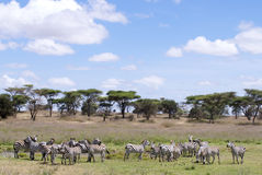 Group of zebras in landscape. In the back trees Stock Images
