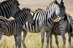 Zebra in a group with there offspring. Zebra with there offspring in Africa Royalty Free Stock Photos