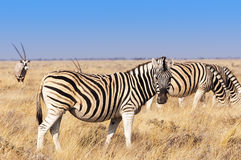 Group of Zebras  and Oryx in the Etosha National Park in Namibia Royalty Free Stock Photo