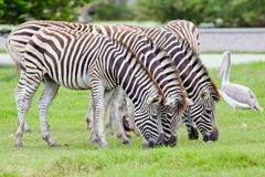 Group of zebras Royalty Free Stock Photo