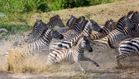 Group of zebras running across the water. Kenya. Tanzania. National Park. Serengeti. Maasai Mara. Royalty Free Stock Image