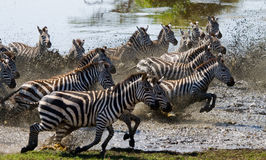 Group of zebras running across the water. Kenya. Tanzania. National Park. Serengeti. Maasai Mara. Stock Photos