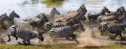 Group of zebras running across the water. Kenya. Tanzania. National Park. Serengeti. Maasai Mara. Stock Image
