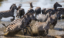 Group of zebras running across the water. Kenya. Tanzania. National Park. Serengeti. Maasai Mara. Stock Images