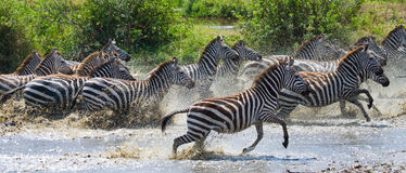 Group of zebras running across the water. Kenya. Tanzania. National Park. Serengeti. Maasai Mara. Royalty Free Stock Photos