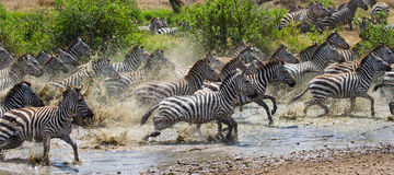 Group of zebras running across the water. Kenya. Tanzania. National Park. Serengeti. Maasai Mara. Royalty Free Stock Images
