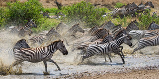 Group of zebras running across the water. Kenya. Tanzania. National Park. Serengeti. Maasai Mara. Stock Photo