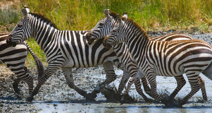 Group of zebras running across the water. Kenya. Tanzania. National Park. Serengeti. Maasai Mara. Royalty Free Stock Photography
