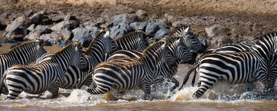 Group of zebras running across the water. Kenya. Tanzania. National Park. Serengeti. Maasai Mara. Stock Photography