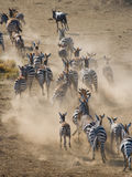 Group of zebras running in the dust. Kenya. Tanzania. National Park. Serengeti. Maasai Mara. Royalty Free Stock Image