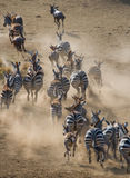 Group of zebras running in the dust. Kenya. Tanzania. National Park. Serengeti. Maasai Mara. Stock Images