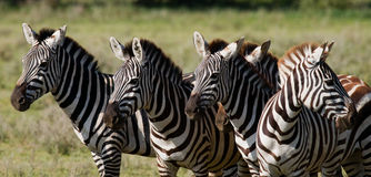 Group of zebras in the savannah. Kenya. Tanzania. National Park. Serengeti. Maasai Mara. Stock Image