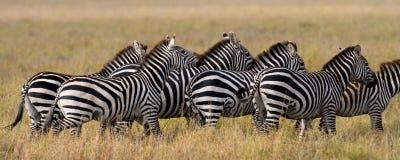 Group of zebras in the savannah. Kenya. Tanzania. National Park. Serengeti. Maasai Mara. Royalty Free Stock Photos