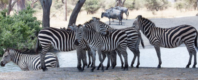 Group of zebras standing on river bank royalty free stock photo