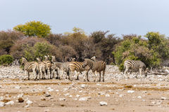 A group of zebras standing in savannah Stock Photo