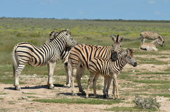 Group of zebras with young one Royalty Free Stock Photography