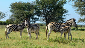 Group of zebras with young one,Botswana. Zebras in reserve Khama in central Botswana Stock Photography