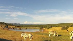 Group zembre eating near a waterhole, Addo Elephant National Park, South Africa stock footage