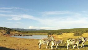 Group zembre walking near a waterhole, Addo Elephant National Park, South Africa stock footage