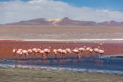 Groupd of Flamingos at the Laguna Colorida in Bolivia. One of the most exotic touristic destination in South America. Volcanos in stock images