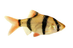 Groupd of Tiger barb or Sumatra barb Puntius tetrazona tropical aquarium fish isolated Stock Images