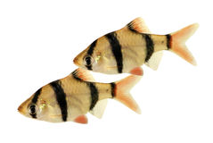 Groupd of Tiger barb or Sumatra barb Puntius tetrazona tropical aquarium fish isolated Royalty Free Stock Photos