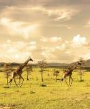 Groupe żyrafy chodzi w afrykańskiej sawannie w Masai Mara krajowej rezerwie przy zmierzchem Kenja africa zdjęcia stock