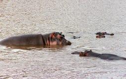 Groupe των αφρικανικών hippos που καταβρέχουν στον ποταμό Ζώα στην άγρια φύση Κινηματογράφηση σε πρώτο πλάνο Hippo Στοκ Εικόνες