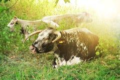Groupe коров при большие рожки лежа на том основании в зеленой траве на луге около центра Оксфорда Стоковое фото RF