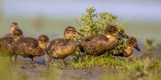 Groupe adorable de caneton fonctionnant par l'herbe Photos stock