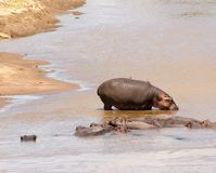 Groupe of african hippos splashing in the river. Animals in wildlife. Hippo close-up.  stock image
