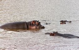 Groupe of african hippos splashing in the river. Animals in wildlife. Hippo close-up.  stock photo