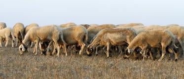 Groupe avec des sheeps Images stock