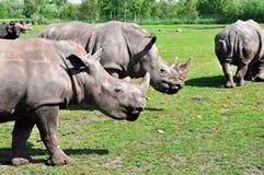 Groupe biała nosorożec Zdjęcia Stock